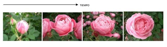 Evolucion_apertura_flor_01.jpg