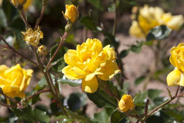 https://galeria.nomenplantor.org/var/albums/nomenplantor/rosales/flores/variedades/Allgold.jpg?m=1528346698