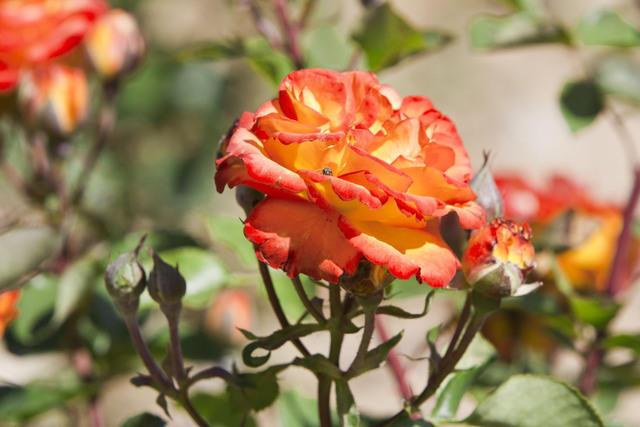 https://galeria.nomenplantor.org/var/albums/nomenplantor/rosales/flores/variedades/Bea.jpg?m=1528346705