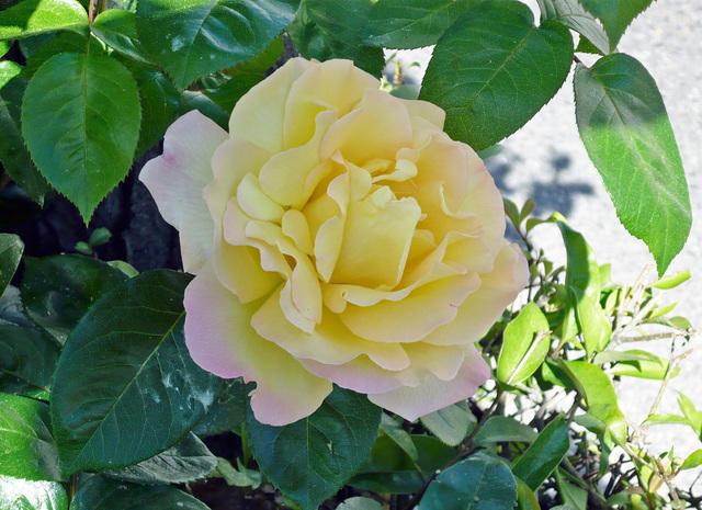 https://galeria.nomenplantor.org/var/albums/nomenplantor/rosales/flores/variedades/Gioia-01.jpg?m=1526213491