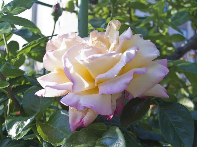 https://galeria.nomenplantor.org/var/albums/nomenplantor/rosales/flores/variedades/Gioia_Cl.jpg?m=1528346716