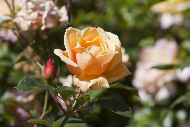 https://galeria.nomenplantor.org/var/albums/nomenplantor/rosales/flores/variedades/Marquesa_de_Urquijo.jpg?m=1528346726
