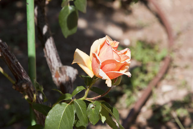 https://galeria.nomenplantor.org/var/albums/nomenplantor/rosales/flores/variedades/Marquesa_de_Urquijo_Cl.jpg?m=1528346724