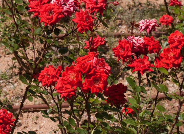 https://galeria.nomenplantor.org/var/albums/nomenplantor/rosales/flores/variedades/Meillandina.jpg?m=1528346728