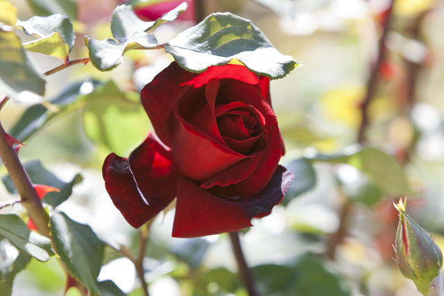 https://galeria.nomenplantor.org/var/albums/nomenplantor/rosales/flores/variedades/Mister_Lincoln.jpg?m=1528346730