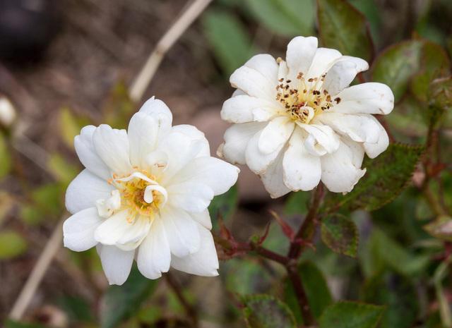 https://galeria.nomenplantor.org/var/albums/nomenplantor/rosales/flores/variedades/Para_ti.jpg?m=1528346733