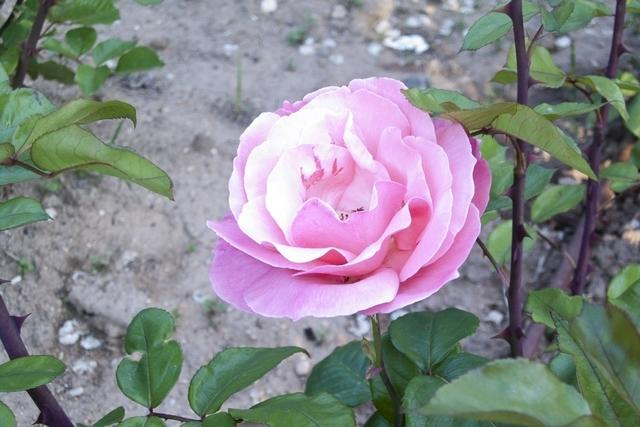 https://galeria.nomenplantor.org/var/albums/nomenplantor/rosales/flores/variedades/Queen_Elizabeth.jpg?m=1546773408