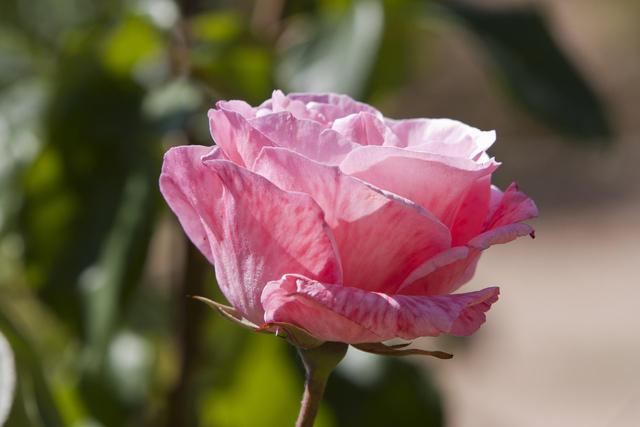 https://galeria.nomenplantor.org/var/albums/nomenplantor/rosales/flores/variedades/Queen_Elizabeth_001.jpg?m=1528346735