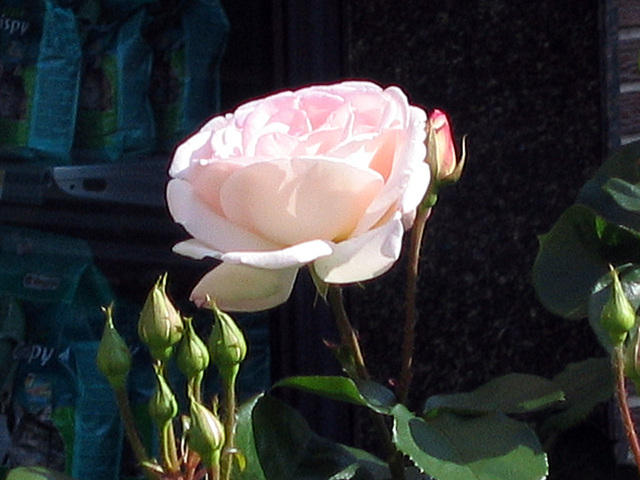 https://galeria.nomenplantor.org/var/albums/nomenplantor/rosales/flores/variedades/Queen_Elizabeth_Blush.jpg?m=1528346736