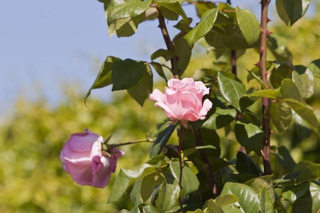 https://galeria.nomenplantor.org/var/albums/nomenplantor/rosales/flores/variedades/Queen_Elizabeth_Cl.jpg?m=1528346738