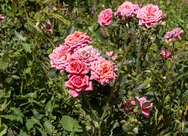https://galeria.nomenplantor.org/var/albums/nomenplantor/rosales/flores/variedades/San_Valentin.jpg?m=1528346744