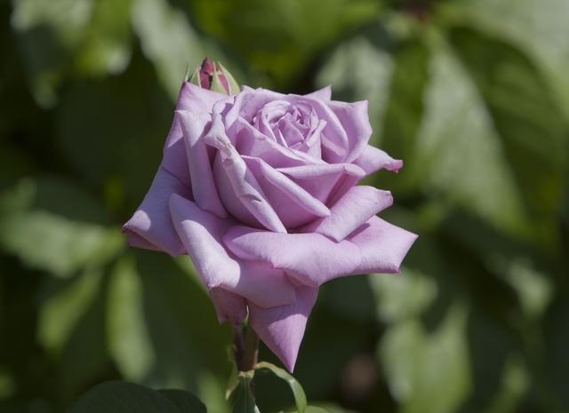 https://galeria.nomenplantor.org/var/albums/nomenplantor/rosales/flores/variedades/Sissi.jpg?m=1528346746