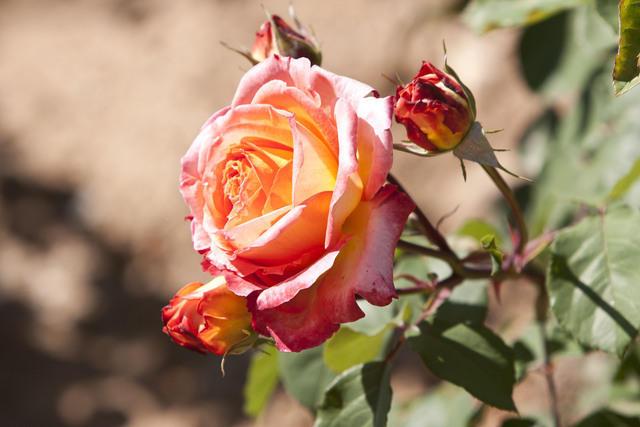 https://galeria.nomenplantor.org/var/albums/nomenplantor/rosales/flores/variedades/Sutters_gold.jpg?m=1528346748