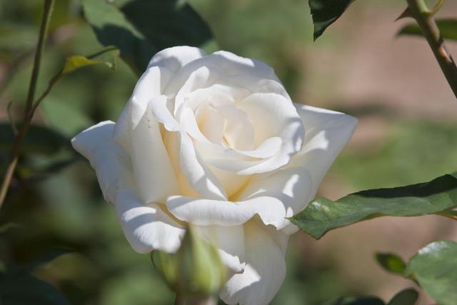 https://galeria.nomenplantor.org/var/albums/nomenplantor/rosales/flores/variedades/Virgo.jpg?m=1528346750